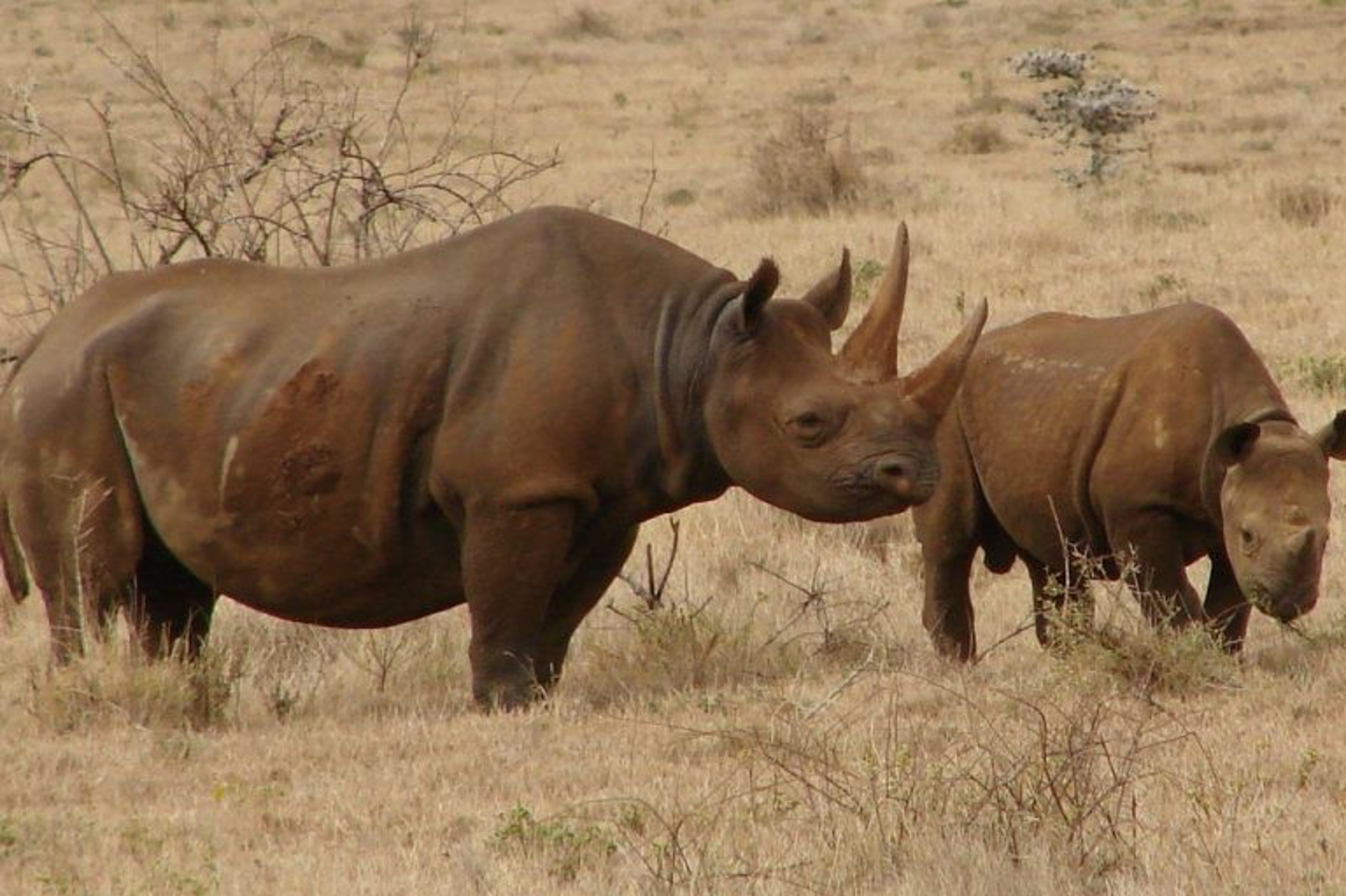 Poaching continues to be a major threat to black rhinos. Photo by Harald Zimmer, Wikimedia Commons, CC BY-SA 3.0.